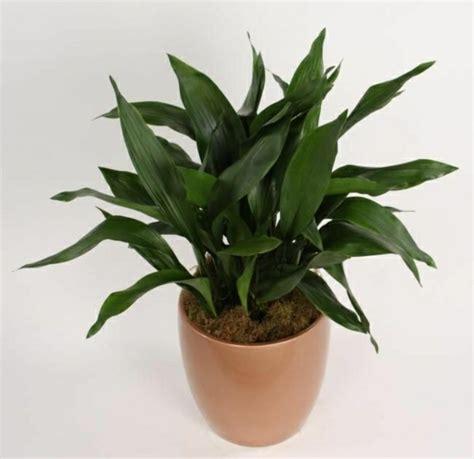 lavendel als zimmerpflanze zimmerpflanzen pflegeleicht sorgen sie f 252 r ein gesundes
