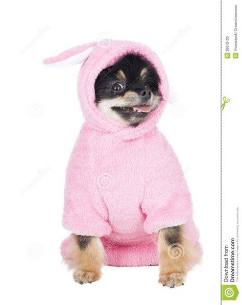pomeranian in costume pomeranian in rabbit costume stock photo image 36072130