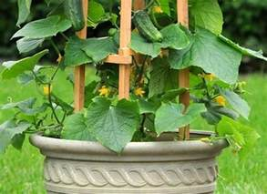 how to grow cucumbers on a trellis growing cucumbers vertically how to grow cucumbers in