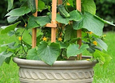 Trellis For Cucumbers In Pots growing cucumbers vertically how to grow cucumbers in