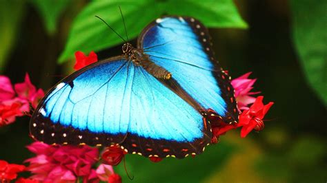 butterflies full hd wallpaper and background image blue butterfly full hd desktop wallpapers 1080p