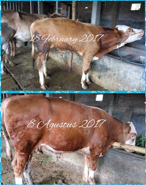 Starbio Untuk Ternak Sapi probiotik starbio untuk hewan suranto giyat