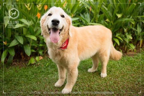 locanto golden retriever golden retriever sg golden retriever for sale for sale adoption in singapore best