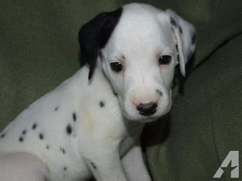 dalmatian puppies for sale california akc dalmatian puppies for sale in pinon california classified americanlisted
