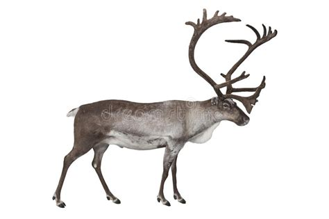 how to get raindear anters white reindeer isolated on white stock photo image of antler 57424242