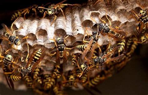 come allontanare le api dalle persiane come scacciare le vespe simple come scacciare le vespe