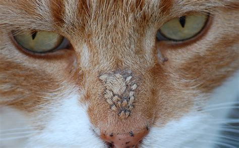 scab on s nose scabs on cat s nose and cats