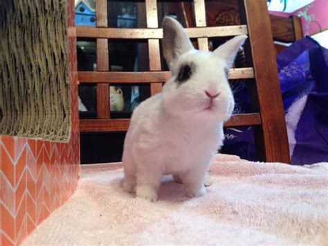 house rabbit network hrn week bunnyslippers com partners with bunny rescue hop to pop