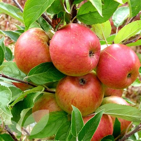 fruit trees for sale washington state dessert apple cordons fruit trees for sale