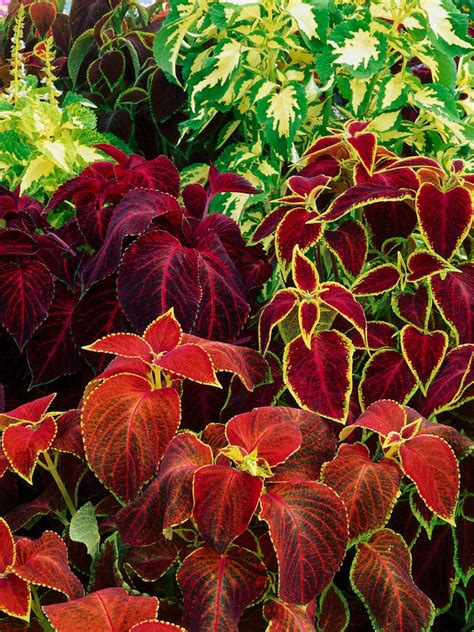 colourful foliage plants bright beautiful flowers for a colorful garden hgtv