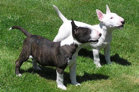 miniature bull terrier miniature bull terrier