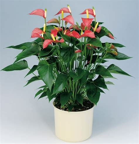 good indoor plants anthurium makes a good house plant indoor flowers