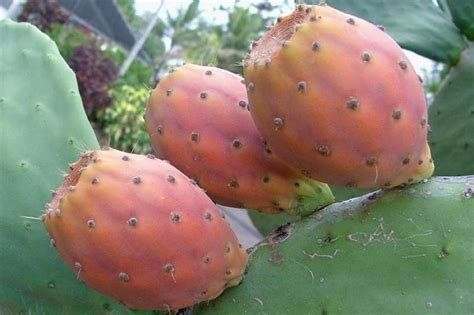 Usda Home Search by Factsheet Opuntia Ficus Indica Sweet Prickly Pear