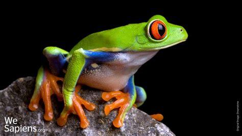una rana a frog image gallery rana