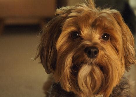 yorkie barking weekly question can a s barking be a sign of jealousy thatmutt a