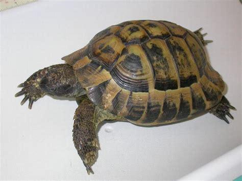 alimentazione testudo hermanni ho trovato una tartaruga pets vets