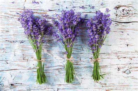 Lavendel Schneiden Und Trocknen by Lavendel Alle Infos Hier Im Lexikon Krautrausch