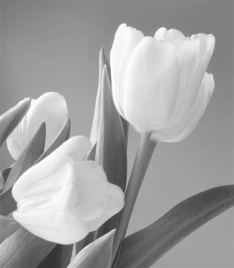 gambar mekar hitam  putih menanam daun bunga satu