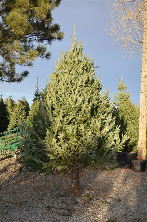 christmas tree farms colorado about our christmas tree