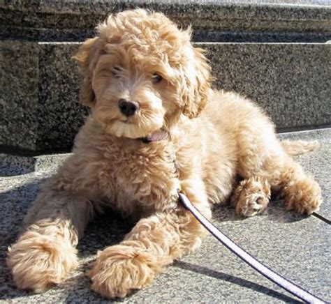 labradoodles doodles and dogs on