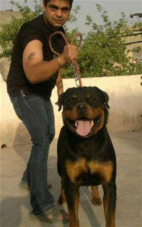 rottweiler puppies for free adoption in india house of show quality rottweiler 09555929306 for sale adoption from delhi delhi