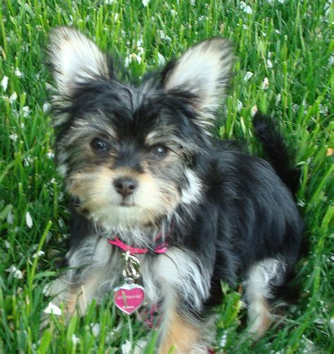 havanese mixed with yorkie yorkie mixed breeds breeds picture