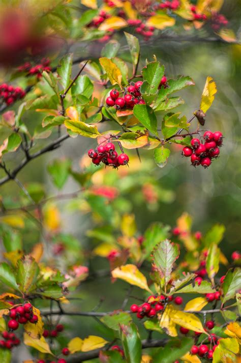 fruit trees for sale washington state washington hawthorn trees for sale cold farm
