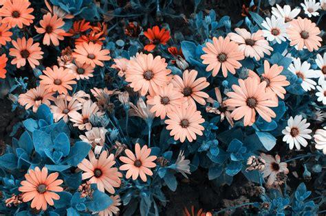 imagenes para fondos de pantalla flores fondo de pantalla de flores margaritas jard 237 n plantas