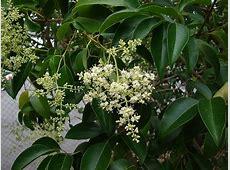 Ligustrum lucidum - 'Chinese privet'   Medium size tree ... Glossy Privet Tree