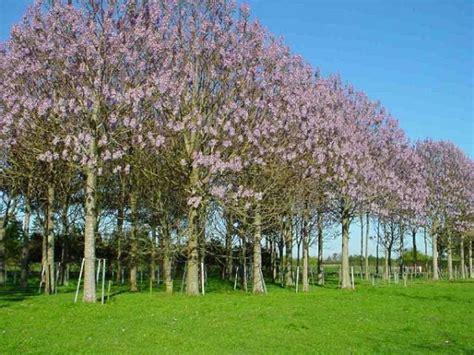 Chinesischer Blauglockenbaum Kaufen by Chinesischer Blauglockenbaum Paulonia Elongata
