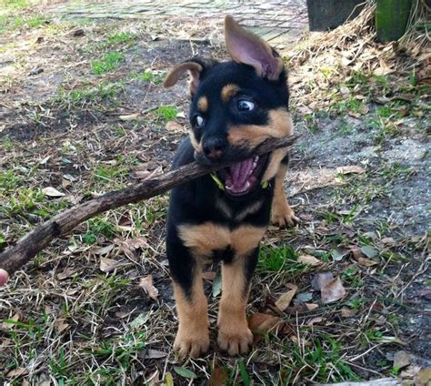 12 week rottweiler puppy 12 week german shepherd rottweiler mix puppy named dakota that branch