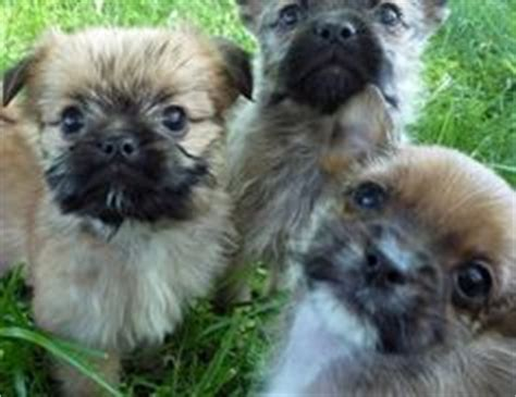 maltese and pug pug and maltese muggese or malti pug pug mixed breeds