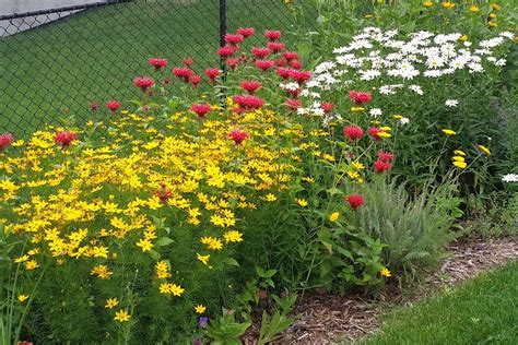 the minnesota garden bee balm