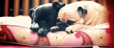 baby pug gif 10 pug gifs that will instantly melt your pets world