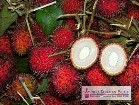 Bibit Pohon Rambutan Binjai bibit rambutan binjai jenis rambutan unggul dengan