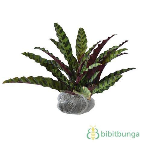 Tanaman Hias Calathea Saputangan tanaman calathea jago bibitbunga