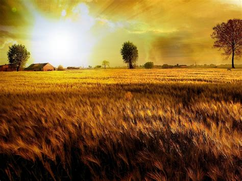 sunset field  wheat  wallpaperscom