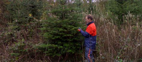 real christmas trees newport south wales real christmas