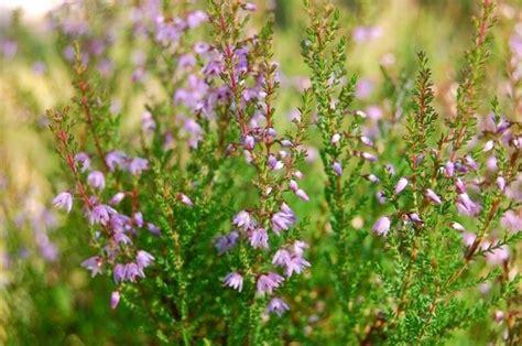 calluna vulgaris in vaso erica calluna piante perenni caratteristiche dell
