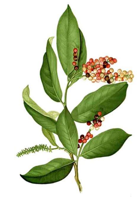 Buni Jelly bignay antidesa bunius currant tree fruits made into