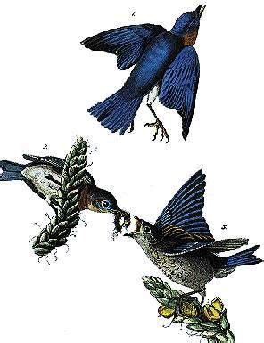 missouri state bird bluebird statescom