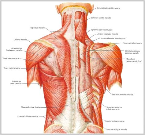 lower back muscles diagram a major lower back human anatomy system