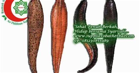 Minyak Lintah Jogja lintah surabaya 081230855989 jual lintah terapi