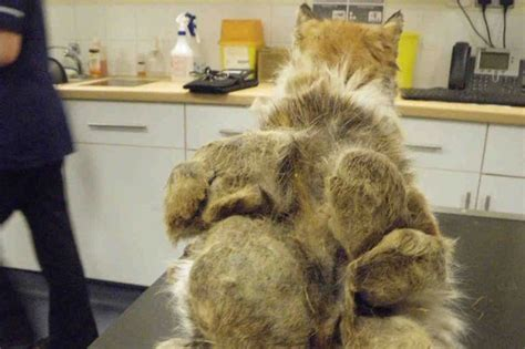neglected cat had matted lumps of fur the size of