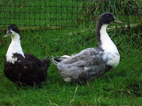 swedish breeds swedish for sale ducks breed information omlet