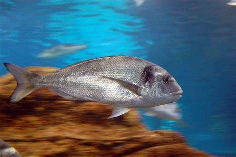 Swimming Fish L by Bass Fish Swimming Fast Alegri Free Photos Highres