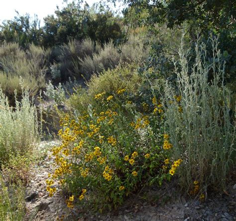 viguiera laciniata san diego sunflower
