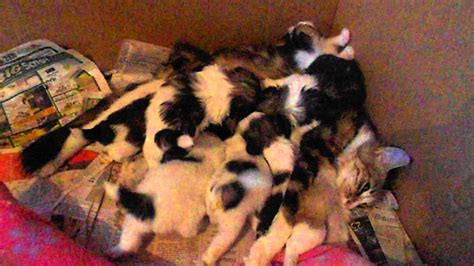 taking care of puppies maine coon cat taking care of puppies as own