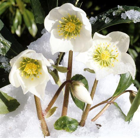 rosa d inverno fiore elleboro la rosa di natale ama il freddo dell inverno