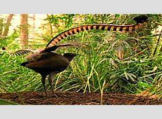 World's Weirdest: Bird Mimics Chainsaw, Car Alarm and More Lyrebird Song